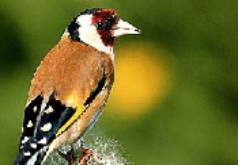 Игра Пятнашки птица с красной головой