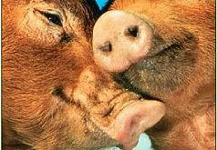 игры история влюбленных свинок